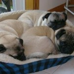 Pug Puppy Dog Beds