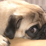 Pug Training Advice…
